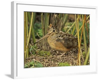 American Woodcock (Scolopax Minor), North America-Steve Maslowski-Framed Photographic Print