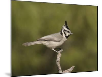 Bridled Titmouse (Baeolophus Wollweberi) on a Branch, Southern Arizona, USA-Charles Melton-Mounted Photographic Print