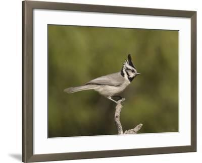 Bridled Titmouse (Baeolophus Wollweberi) on a Branch, Southern Arizona, USA-Charles Melton-Framed Photographic Print