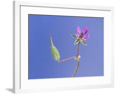 Storksbill Flower and Seed Pod-Solvin Zankl-Framed Photographic Print