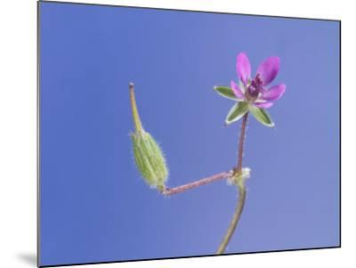 Storksbill Flower and Seed Pod-Solvin Zankl-Mounted Photographic Print