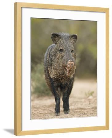 Javelina or Peccary, Pecari Tajacu, Southwestern USA-Arthur Morris-Framed Photographic Print