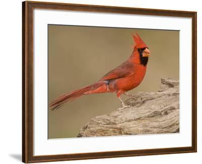 Male Northern Cardinal, Cardinalis Cardinalis, North America-John Cornell-Framed Photographic Print