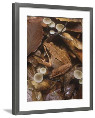 Wood Frog, Rana Sylvatica, Eastern North America-Gary Meszaros-Framed Photographic Print