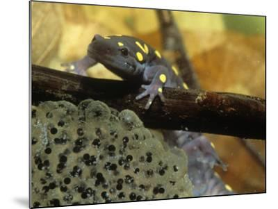 Spotted Salamander in a Vernal Pool with Eggs, Ambystoma Maculatum, . Northeastern USA-Gustav W. Verderber-Mounted Photographic Print