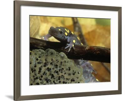 Spotted Salamander in a Vernal Pool with Eggs, Ambystoma Maculatum, . Northeastern USA-Gustav W. Verderber-Framed Photographic Print