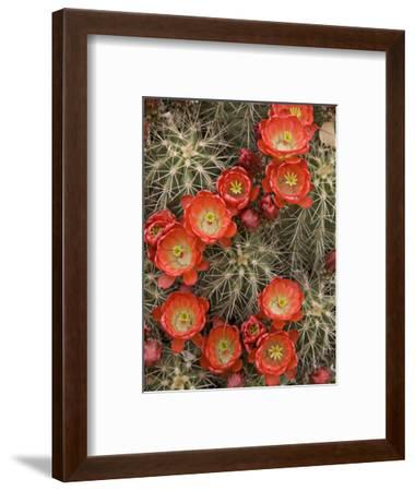 Claret Cup Cactus (Echinocereus Triglochidiatus) Blooming-Don Grall-Framed Photographic Print