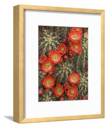Claret Cup Cactus (Echinocereus Triglochidiatus) Blooming-Don Grall-Framed Photographic Print
