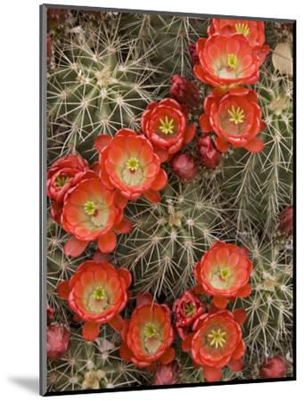 Claret Cup Cactus (Echinocereus Triglochidiatus) Blooming-Don Grall-Mounted Photographic Print