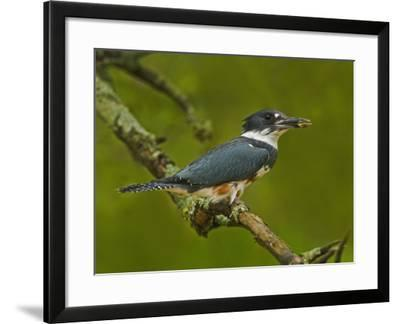 Female Belted Kingfisher with Prey in its Cavity (Ceryle Alcyon), Eastern USA-Adam Jones-Framed Photographic Print