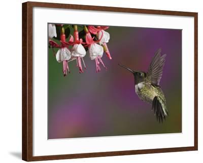 Male Ruby-Throated Hummingbird Hovering Near Flowers (Archilochus Colubris), Eastern USA-Adam Jones-Framed Photographic Print
