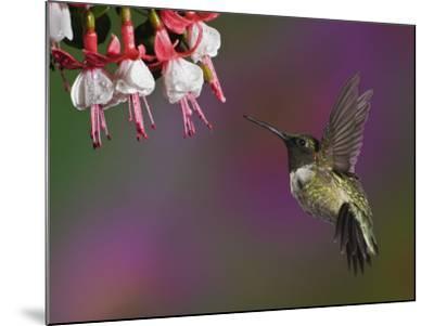 Male Ruby-Throated Hummingbird Hovering Near Flowers (Archilochus Colubris), Eastern USA-Adam Jones-Mounted Photographic Print