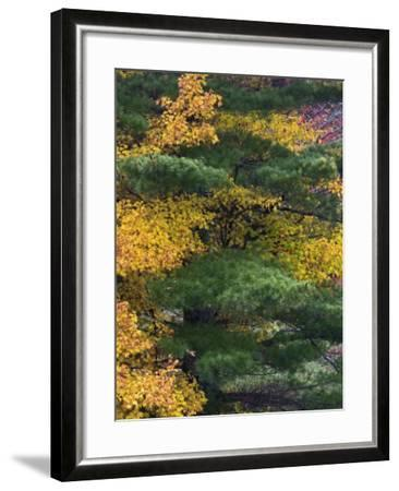 Comparison of Evergreen Conifer Needles with the Fall Leaves of Deciduous Trees, Eastern USA-Adam Jones-Framed Photographic Print