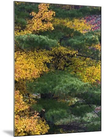 Comparison of Evergreen Conifer Needles with the Fall Leaves of Deciduous Trees, Eastern USA-Adam Jones-Mounted Photographic Print