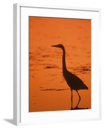 Great Blue Heron Silhouette at Twilight (Ardea Herodias), North America-John & Barbara Gerlach-Framed Photographic Print