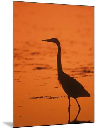 Great Blue Heron Silhouette at Twilight (Ardea Herodias), North America-John & Barbara Gerlach-Mounted Photographic Print