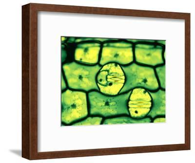 Stomata in Leaf Epidermis, Open and Closed, with Guard Cells-John D. Cunningham-Framed Photographic Print