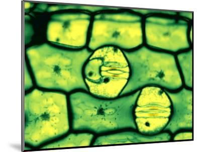 Stomata in Leaf Epidermis, Open and Closed, with Guard Cells-John D. Cunningham-Mounted Photographic Print