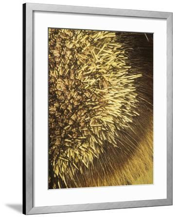 Close-Up of Porcupine Quills and Hairs, Erethizon Dorsatum, North America-Joe McDonald-Framed Photographic Print