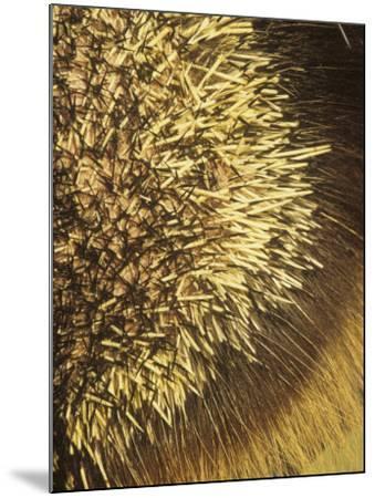 Close-Up of Porcupine Quills and Hairs, Erethizon Dorsatum, North America-Joe McDonald-Mounted Photographic Print