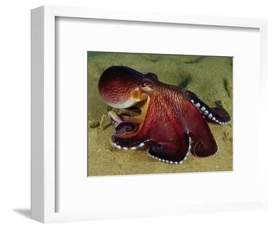 Warning Display of the Veined Octopus. (Octopus Marginatus) Indonesia-Mark Norman-Framed Photographic Print