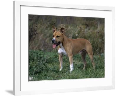 American Staffordshire Terrier Variety of Domestic Dog-Cheryl Ertelt-Framed Photographic Print
