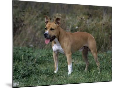 American Staffordshire Terrier Variety of Domestic Dog-Cheryl Ertelt-Mounted Photographic Print