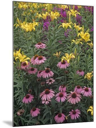 Purple Coneflowers, Echinacea Purpurea, and Daylilies, Hemerocallis, in a Garden-Adam Jones-Mounted Photographic Print
