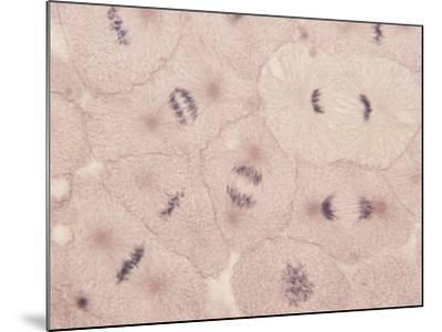 Whitefish Mitosis Showing Metaphase Through Late Anaphase Stages-John D. Cunningham-Mounted Photographic Print