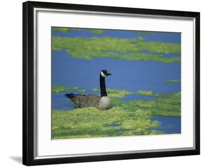 Canada Goose in a Eutrophic Pond, Branta Canadensis, North America-John & Barbara Gerlach-Framed Photographic Print