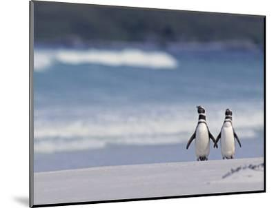 Magellanic Penguin Couple, Spheniscus Magellanicus, Falkland Islands-Joe & Mary Ann McDonald-Mounted Photographic Print