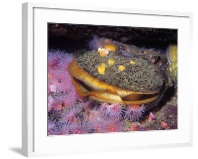 Rock Scallop (Hinnites Giganteus), Pacific Coast of North America-Ken Lucas-Framed Photographic Print