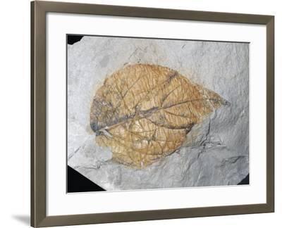 Fossil Elm-Like Leaf (Eucommia Serrata), Palaeocene Epoch, 55-65 M.Y.A., Alberta, Canada-Ken Lucas-Framed Photographic Print