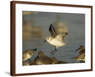 Sanderling, Calidris Alba, Landing in a Mixed Flock of Various Shorebirds, Florida USA-John Cornell-Framed Photographic Print