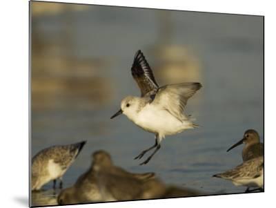 Sanderling, Calidris Alba, Landing in a Mixed Flock of Various Shorebirds, Florida USA-John Cornell-Mounted Photographic Print