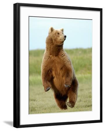 Brown Bear (Ursus Arctos)-Tom Walker-Framed Photographic Print