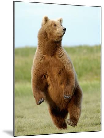 Brown Bear (Ursus Arctos)-Tom Walker-Mounted Photographic Print