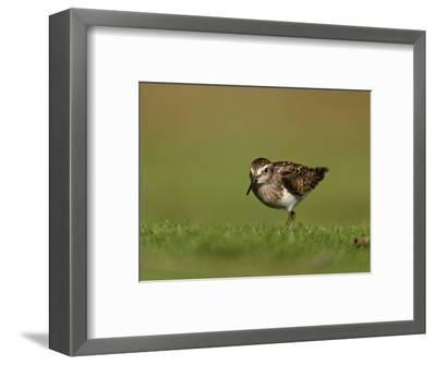 Least Sandpiper in Juvenile Plumage, Calidris Minutilla, North America-Arthur Morris-Framed Photographic Print