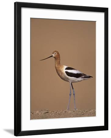 American Avocet Showing its Long Legs and Bill, Recurvirostra Americasna, USA-Arthur Morris-Framed Photographic Print