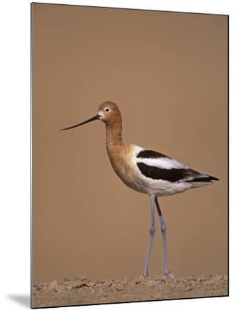 American Avocet Showing its Long Legs and Bill, Recurvirostra Americasna, USA-Arthur Morris-Mounted Photographic Print