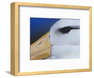 Black-Browed Albatross Eye and Upper Bill, Diomedea Melanophris, Falkland Islands-Joe McDonald-Framed Photographic Print