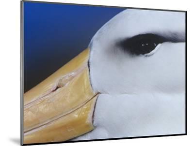 Black-Browed Albatross Eye and Upper Bill, Diomedea Melanophris, Falkland Islands-Joe McDonald-Mounted Photographic Print