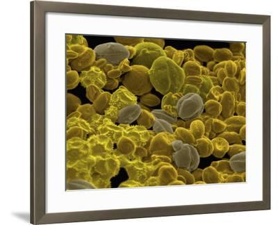 Various Grains of Pollen--Framed Photographic Print