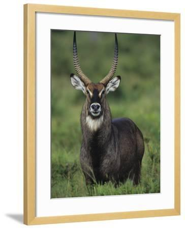 Defassa Waterbuck Head View, Kobus Ellipsiprymnus Defassa, Masai Mara, Kenya, Africa-Joe McDonald-Framed Photographic Print