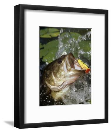 Largemouth Bass with Surface Lure-Wally Eberhart-Framed Photographic Print