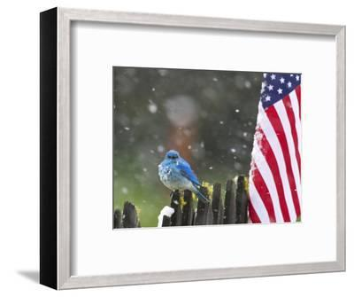 Male Mountain Bluebird (Sialia Currucoides) Waiting Out the 4th of July Snowstorm-Alexander Badyaev-Framed Photographic Print