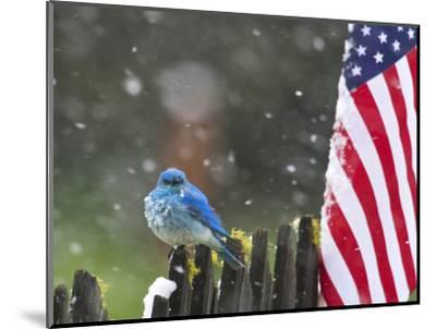 Male Mountain Bluebird (Sialia Currucoides) Waiting Out the 4th of July Snowstorm-Alexander Badyaev-Mounted Photographic Print