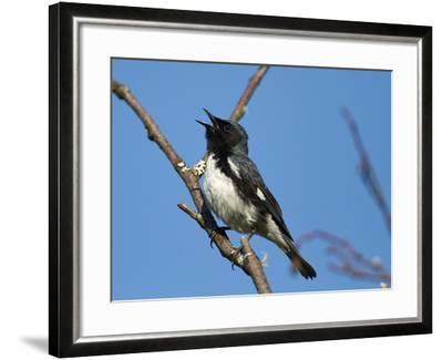 Two-Year Old Male Black-Throated Blue Warbler (Dendroica Caerulescens), New Hampshire, USA-John Abbott-Framed Photographic Print
