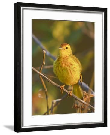 Mangrove or Yellow Warbler (Dendroica Petechia) Perched on a Branch Near the Coast of Ecuador-Glenn Bartley-Framed Photographic Print