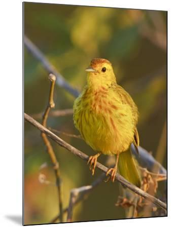 Mangrove or Yellow Warbler (Dendroica Petechia) Perched on a Branch Near the Coast of Ecuador-Glenn Bartley-Mounted Photographic Print